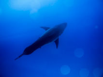 从上面的大白鲨鱼在蓝色海洋 免版税库存图片