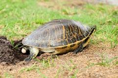 下鸡蛋的佛罗里达乌龟 库存图片