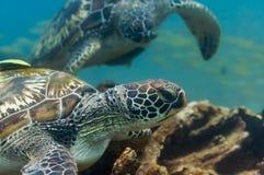 水下两只绿浪的乌龟 库存照片