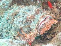 水下亚得里亚海的annimal危险鱼人北海的石头非常 免版税图库摄影