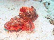 水下亚得里亚海的annimal危险鱼人北海的石头非常 库存照片