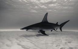 水下伟大的双髻鲨 图库摄影