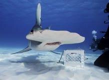 水下伟大的双髻鲨 免版税库存照片