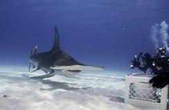 水下伟大的双髻鲨 库存照片