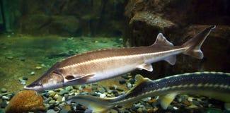 水下俄国鲟鱼的鱼 库存照片