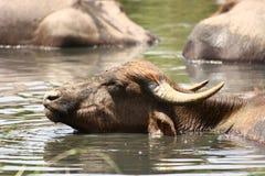下午享用夏天水的浴牛 库存照片