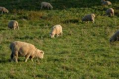 下午在新西兰农场,吃草的绵羊 图库摄影
