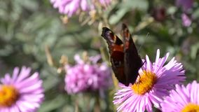 下午自然后蝶粉花的草原 影视素材