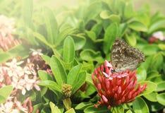 下午自然后蝶粉花的草原 免版税库存图片
