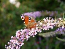 下午自然后蝶粉花的草原 图库摄影