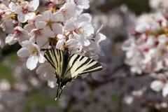 下午自然后蝶粉花的草原 免版税图库摄影