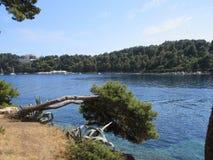下垂入Cavtat的杉树咆哮,克罗地亚 库存照片