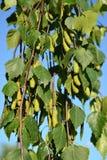下垂有疣的Betula Pendula Roth的桦树 与绿色耳环的分支 库存照片