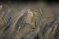下垂的麦子 库存图片