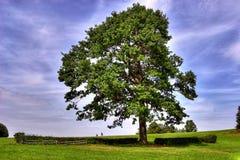 下大马橡木车手结构树 库存图片
