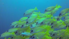 水下女用披巾的鲨鱼和的鱼 影视素材