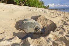 下鸡蛋的乌龟在海滩。 库存图片