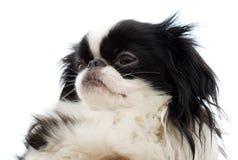 下巴顶头日本小狗 免版税库存照片