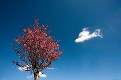 下开花蓝色樱桃天空 库存图片