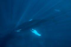 水下成人的驼背 免版税图库摄影
