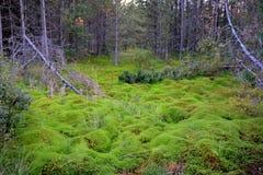 下木在瑞典森林里 免版税图库摄影