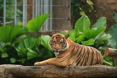 下来下巴国王马来亚老虎 免版税库存照片