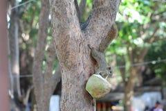 下来吃狼吞虎咽在一些被打开的椰子的边的野生上树灰鼠 免版税库存照片