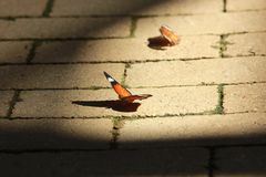 下来在晴朗的砖的流浪汉或者黑脉金斑蝶 图库摄影