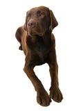 下来拉布拉多位于的小狗 免版税库存照片