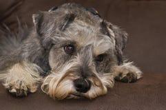 下来放置小髯狗的关心的狗 免版税库存照片