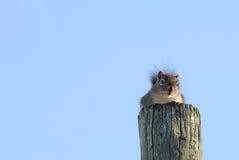 下来查找高杆的灰鼠 图库摄影