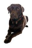下来狗英俊拉布拉多位于 免版税库存图片