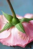 下来玫瑰色增长 库存图片