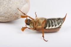 下来甲虫增长 库存照片