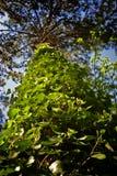 从下来的常春藤覆盖的树型视图关闭  库存图片
