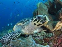 下来的hawksbill海龟 库存图片