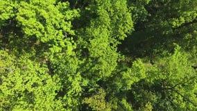 下来空中上面在小径的慢跑者在夏天森林里在大树下 影视素材