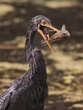 下来美洲蛇鸟食物 库存照片