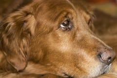 下来金黄放置的老猎犬 免版税图库摄影