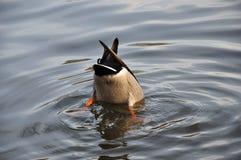 下来鸭子增长 免版税库存图片