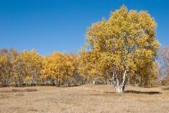 下桦树蓝色金黄天空 免版税库存图片