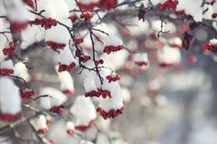 下浆果红色雪 免版税库存图片