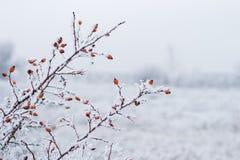 下浆果红色雪 库存照片