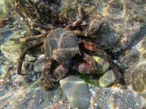 水下海带的螃蟹 免版税库存图片