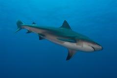 下潜鲨鱼 库存图片
