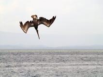 下潜鹈鹕准备好 免版税库存照片