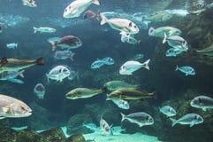 水下潜水埃及鱼红色学校的海运 库存图片
