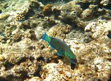 水下热带异乎寻常的鱼 pseododax moluccanus 库存图片
