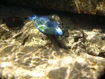 水下热带异乎寻常的鱼 pseododax moluccanus 库存照片