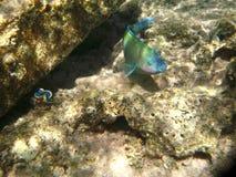 水下热带异乎寻常的鱼 pseododax moluccanus 免版税图库摄影